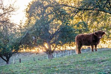 Wall Mural - Schottische Hochland Rinder auf der Weide