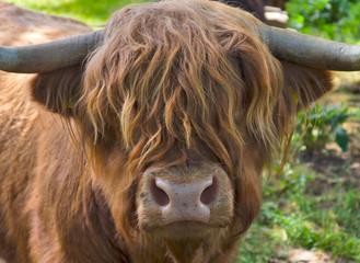 Portrait of a Scottish highland cattle