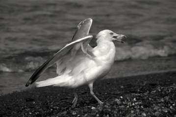 Wild seagull flees with food
