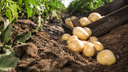 Photo sur Toile Culture Pile of ripe potatoes on ground in field