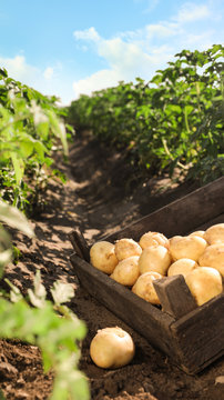 Wooden crate with raw potatoes in field