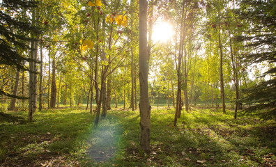 Sun shining through the trees in the forest, serene forest scene in the morning, tree trunks and sunlight