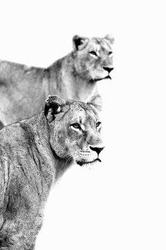 To female lions (panthera leo)