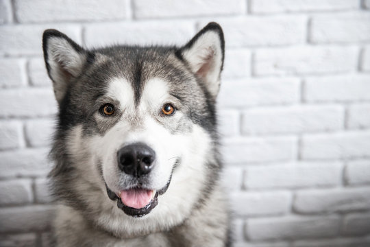 Happy Alaskan Malamute dog smiling and looking camera on white wall background