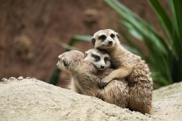 Meerkat's behavior