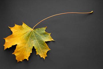 Autumn yellow maple leaf on dark background