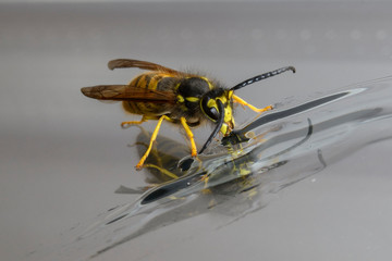 Yellow wasp eating honey with reflection
