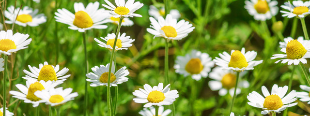 Poster Madeliefjes Сhamomile (Matricaria recutita), blooming plants in the spring meadow on a sunny day, closeup