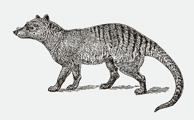Extinct thylacine or tasmanian wolf (thylacinus cynocephalus) in side view. Illustration after an engraving from the 19th century Wall mural