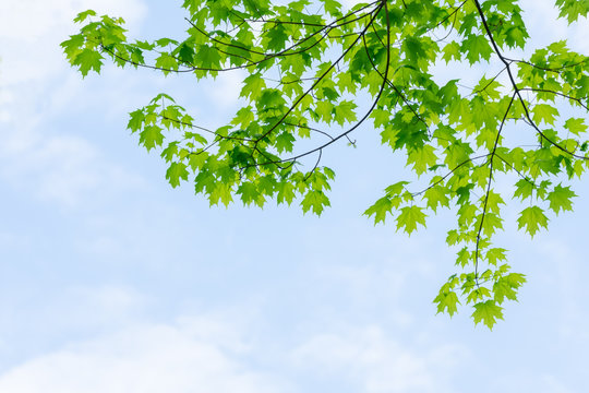 Green sugar maple tree leaves with blue sky and white clouds