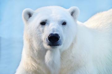 Deurstickers Ijsbeer polar bear on background of blue sky