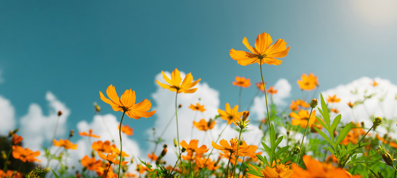 yellow flower cosmos bloom with sunshine and blue sky background