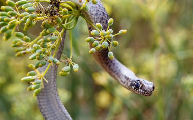Joven culebra bastarda en la rama de una planta mirando al frente. Malpolon monspessulanus.
