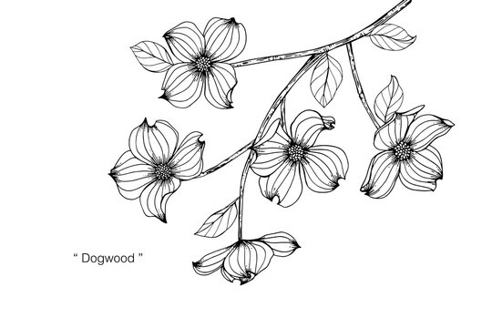 Dogwood flower and leaf drawing illustration with line art on white backgrounds.