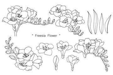 Freesia flower and leaf drawing illustration with line art on white backgrounds.