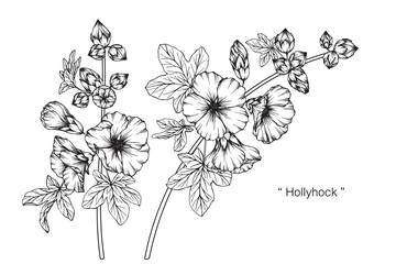 Hollyhock flower and leaf drawing illustration with line art on white backgrounds.
