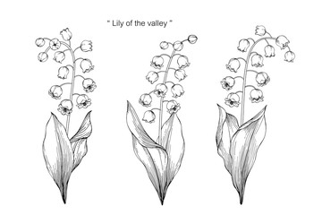 lily of the valley flower and leaf drawing illustration with line art on white backgrounds.