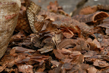 Dry scales of pangolins are seen on display at a bushmeat market at Emure-ile, along Owo-Akure road in Ondo