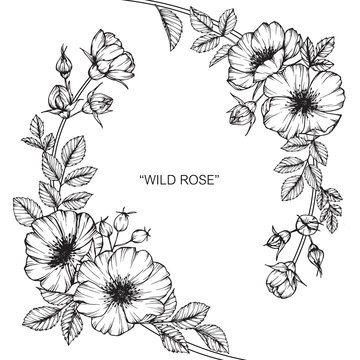 Wild rose flower drawing illustration with line art on white backgrounds.
