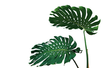 Wall Mural - Dark green leaves of monstera plant or split-leaf philodendron (Monstera deliciosa) the tropical foliage popular houseplant isolated on white background, clipping path included.