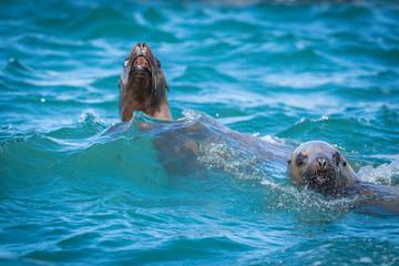 Sea lions in the sea, Sakhalin island, Russia.