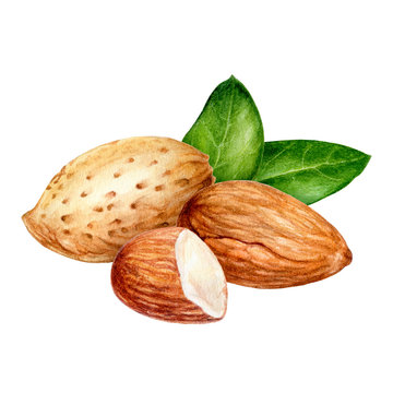 Almond composition watercolor isolated on white background