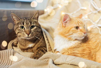 Fototapete - pets, christmas and hygge concept - two cats lying on sofa at home in winter