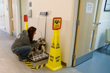 Moose, a six-year-old English Bulldog with B-cell lymphoma, is weighed by his owner in North Grafton
