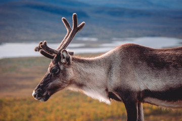 Male reindeer looking down into a valley on lakes and trees during autumn