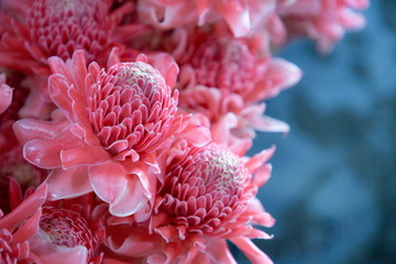 close up texture and pattern of ginger torch or dalah pink pastel color flowers blooming bouquet .