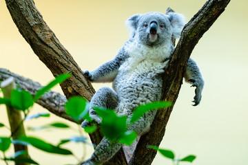 Koalabär im Tiergarten Schönbrunn