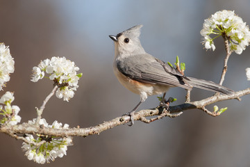 Fotobehang Vogel Tufted Titmouse
