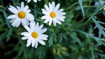 White Chamomile flower in a garden.