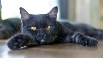 Cute black cat lying in the room.