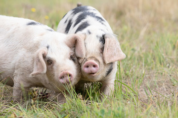 Original photograph of two little pigs dancing cheek to cheek