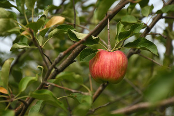Apple near czech village of Vysoka Pec on 8th september 2019