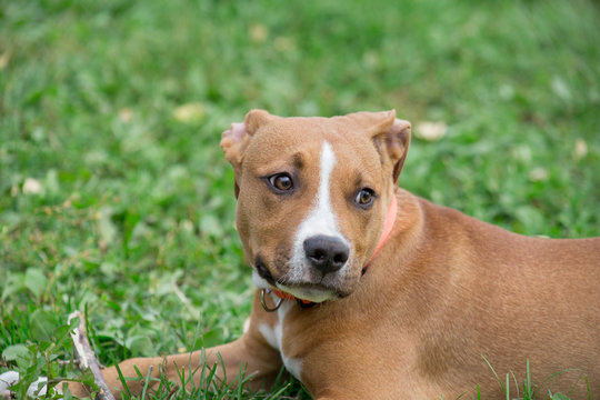 Portrait of american staffordshire terrier puppy. Pet animals. Two month old.