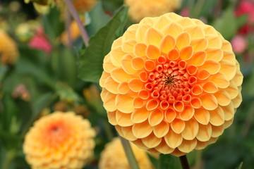 Pompon-Dahlie in einem Garten, orangefarbene Dahlie