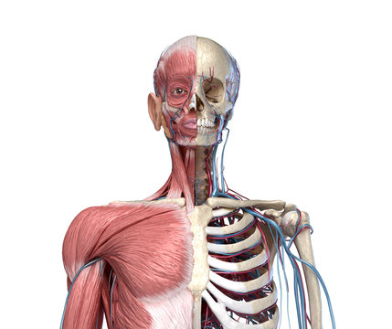 Human Torso skeleton with muscles, veins and arteries.  front view.