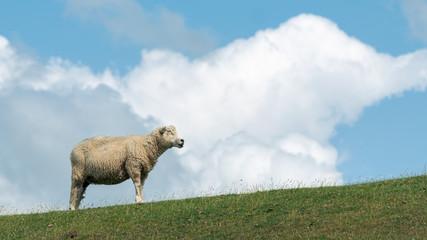 Acrylic Prints Sheep Blick über den Deich