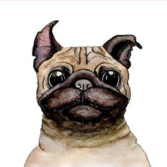Sketch painted in watercolor: pug dog on a white isolated background