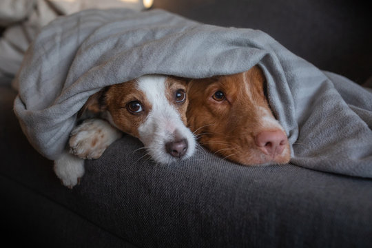 two dogs are hiding under the blanket. Nova Scotia Duck Tolling Retriever and Jack Russell Terrier are heated home on the couch