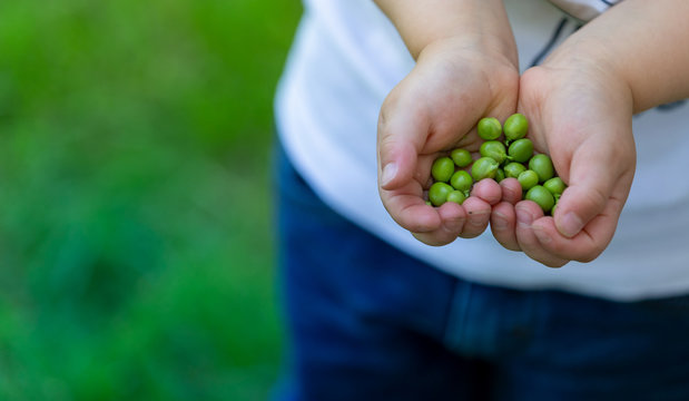 Beans and peas crop, nature concepts