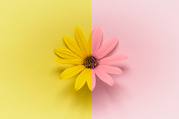 Large daisy gerbera chamomile flower head on vibrant double colored yellow pink background.