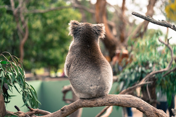 Garden Poster Koala Lonely koala sitting on a branch