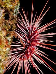 Red Sea Urchin (Mesocentrotus franciscanus)