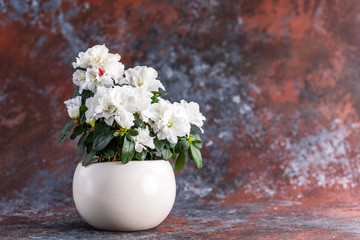 Keuken foto achterwand Azalea Azalea. Rhododendron. Blooming white azalea bush of a textured background.