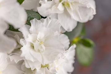 Azalea. Rhododendron. Blooming white azalea bush of a textured background.