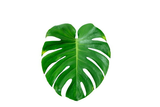 Close Up Top View of Real Philodendron Split Green Leaf Monstera deliciosa Foliage . Tropical Rainforest Plant . Clipping Path and Isolated on White Background , Flat Lay