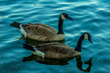 Canadian Goose-002